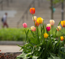 Photo: Campus Scenes Spring Flowers Tulips